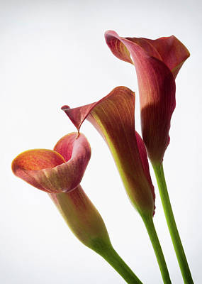 Photograph - Pink Calla Lilies 2 by Shirley Mitchell