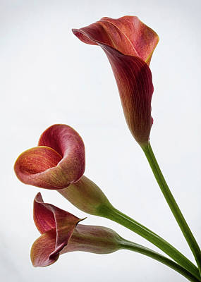 Photograph - Pink Calla Lilies 3 by Shirley Mitchell