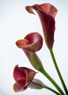 Photograph - Pink Calla Lilies 4 by Shirley Mitchell