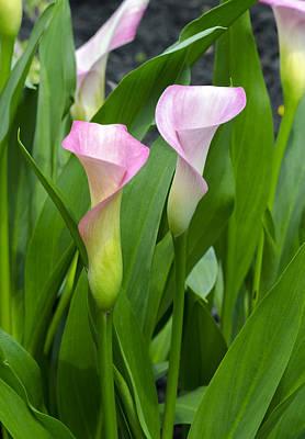 Photograph - Pink Calla Lilies by Lynn Hansen