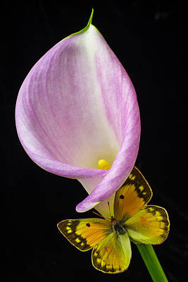 White Flower Photograph - Pink Calla Lily With Yellow Butterfly by Garry Gay