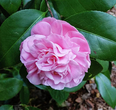 Photograph - Pink Camellia by M Braun
