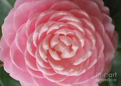 Photograph - Pink Camellia Macro by Carol Groenen