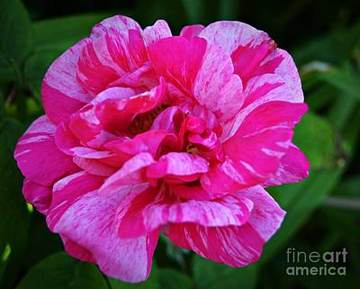 Photograph - Pink Candy Stripe Rose by Chalet Roome-Rigdon