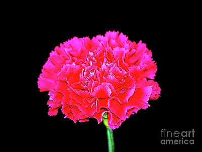 Photograph - Pink Carnation 12518-1 by Ray Shrewsberry