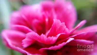 Photograph - Pink Carnation by Lainie Wrightson