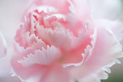 Flower Design Photograph - Pink Carnation Macro by Jenny Rainbow