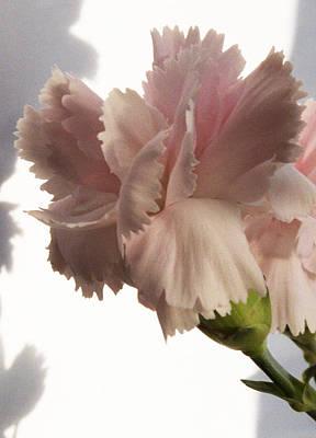 Pink Carnation Original