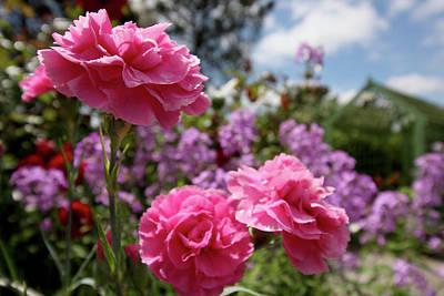 Photograph - Pink Carnations by Aidan Moran