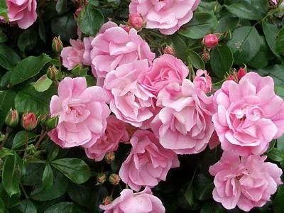 Photograph - Pink Carpet Rose by Nancy Pauling