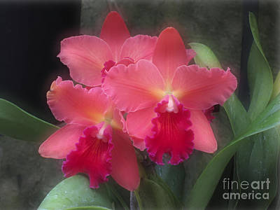 Pink Cattleya Art Print by Addie Hocynec