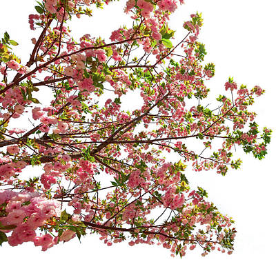 Photograph - Pink Cherry Blossom by Benny Marty