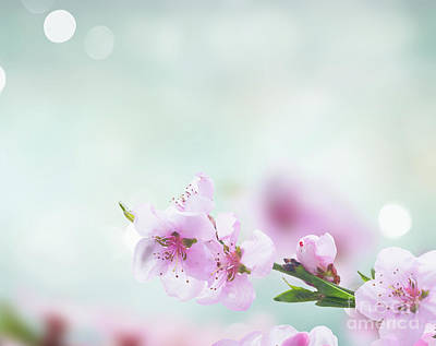 Photograph - Pink Cherry Blossom II by Anastasy Yarmolovich
