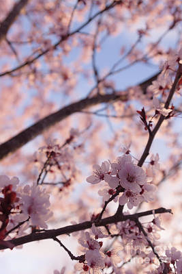 Cherry Blossoms Photograph - Pink Cherry Blossoms by Ana V Ramirez
