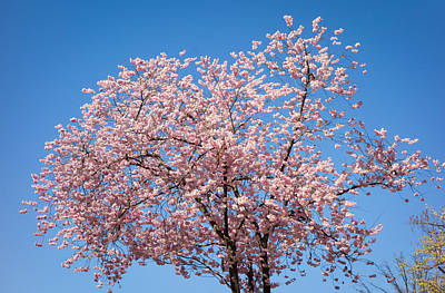 Photograph - Pink Cherry Blossoms And Bright Blue Sky by Matthias Hauser