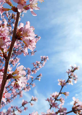 Pink Cherry Blossoms Branching Up To The Sky Art Print