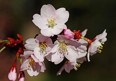 Photograph - Pink Cherry Blossoms by Debbie Oppermann