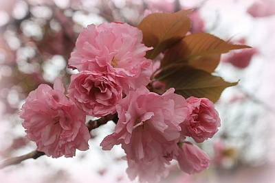 Photograph - Pink Cherry Blossoms by Dora Sofia Caputo Photographic Design and Fine Art