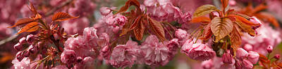 Cherry Blossoms Photograph - Pink Cherry Blossoms In Spring by Panoramic Images