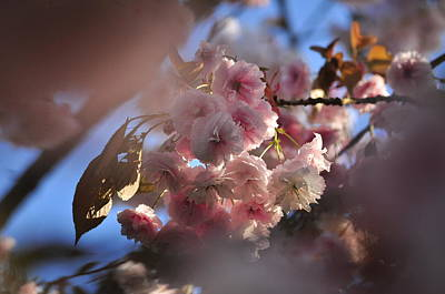 Photograph - Pink Cherry Blossoms In Spring Sakura by Martin Stankewitz
