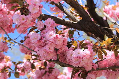 Photograph - Pink Cherry Blossoms by Lynn Hopwood