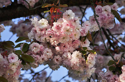 Photograph - Pink Cherry Blossoms  by Martin Stankewitz