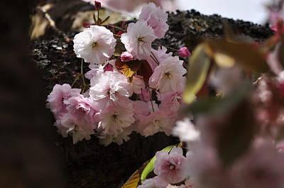 Photograph - Pink Cherry Blossoms Prunus Serrulata Shirofugen by Martin Stankewitz