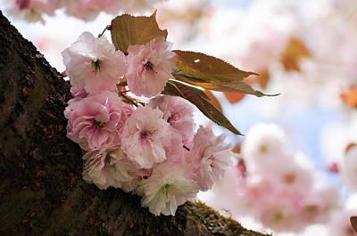 Photograph - Pink Cherry Blossoms, Sakura Season by Martin Stankewitz