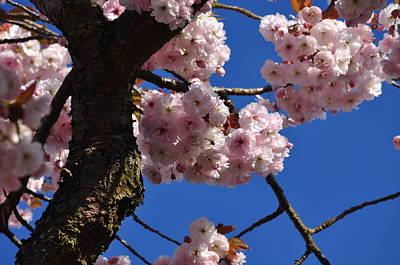 Photograph - Pink Cherry Blossoms, Sakura Under Ble Sky by Martin Stankewitz