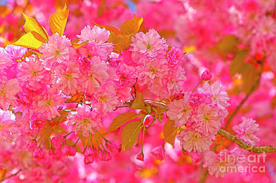 Photograph - Pink Cherry Blossoms by Sharon Talson