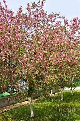 Photograph - Pink Cherry Trees by Irina Afonskaya