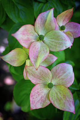 Photograph - Pink Chinese Dogwood by Rick Berk