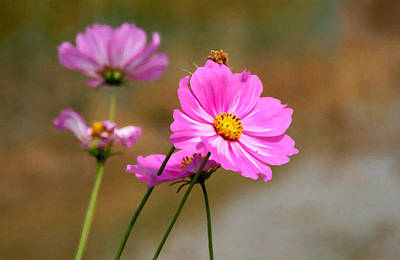 Pink Chrysanthemum 1 Art Print