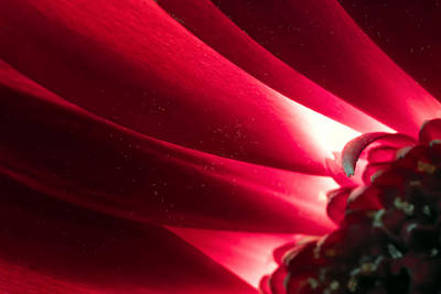 Pink Chrysanthemum Flower Petals  In Macro Canvas Close-up Art Print by John Williams