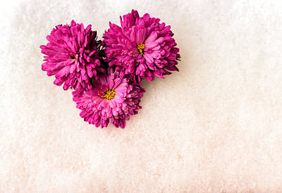 Photograph - Pink Chrysanthemum Flowers On Snow by John Williams