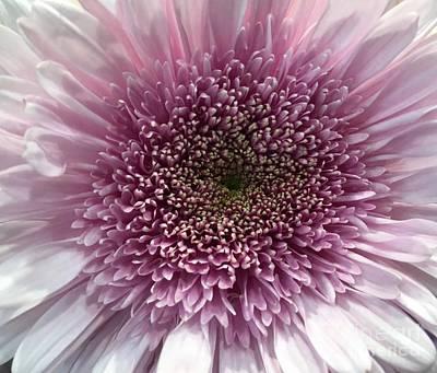 Photograph - Lavender Chrysanthemum  by Jeannie Rhode