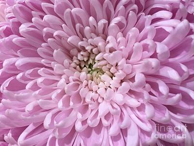 Photograph - Pink Chrysanthemum Macro by Jeannie Rhode