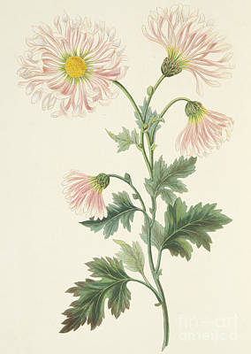 Bouquet Drawing - Pink Chrysanthemum by Margaret Roscoe