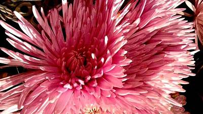 Photograph - Pink Chrysanthemum by Michael Hoard