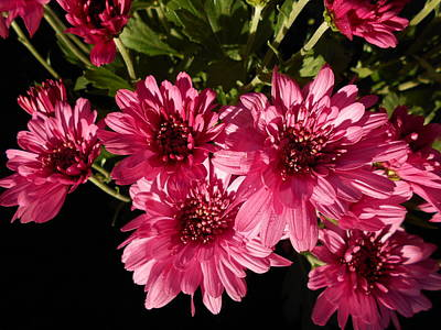 Photograph - Pink Chrysanthemums by Erika H