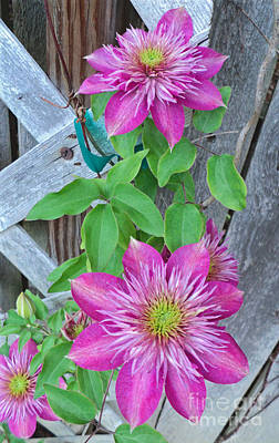 Photograph - Pink Clematis Flower 2016 by Padre Art