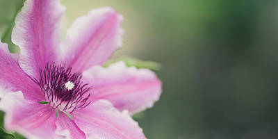 Photograph - Pink Clematis by Rebecca Cozart