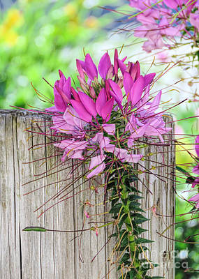 Photograph - Pink Cleome by Janice Drew