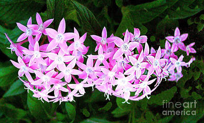 Photograph - Pink Clerodendrum Flowers by Merton Allen