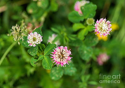 Photograph - Pink Clover Flowers by Les Palenik