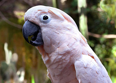 Photograph - Pink Cockatoo by Haleh Mahbod