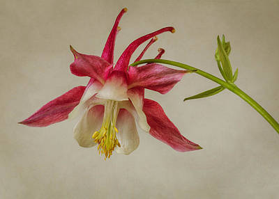 Photograph - Pink Columbine Wildflower #1 by Patti Deters