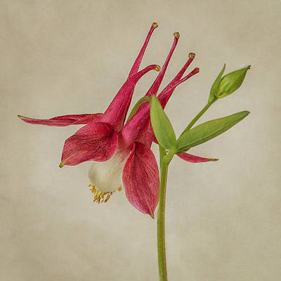 Photograph - Pink Columbine Wildflower #2 by Patti Deters