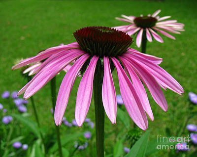 Aloha For Days - Pink Cone Flowers by Donna Brown