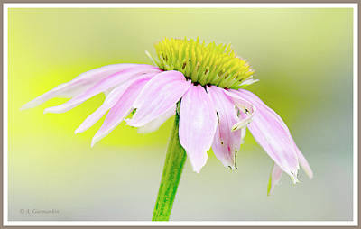 Photograph - Pink Coneflower by A Gurmankin